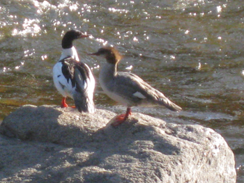 A male merganser (left) and female lounging on a boulder in the Poudre River that flows along my backyard.