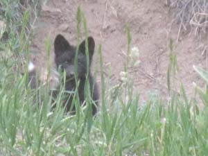 Black fox kit with a white tail outside of its den along the Poudre River. Photo by Gary Kimsey