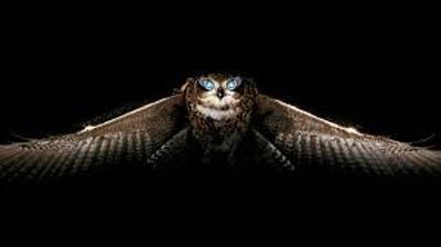 swooping_owl_400