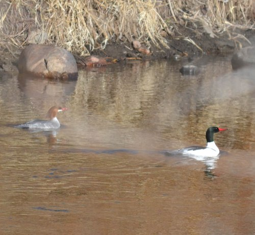 A merganser female (left) and male on the Poudre River. Photo by Edie Palmer, taken from her backyard in the lower Poudre Canyon.