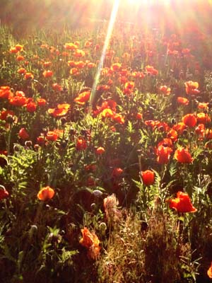 At sunrise on the summer solstice: Poppies in Poudre Park.